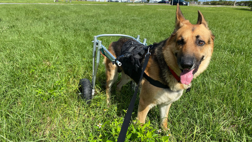 Disabled Manatee County rescue dog walking gain after owner builds wheelchair   From WFLA